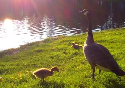 Noonan Park geese
