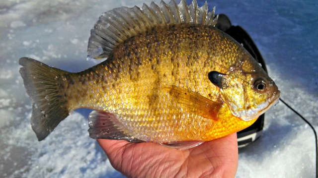 another sunfish