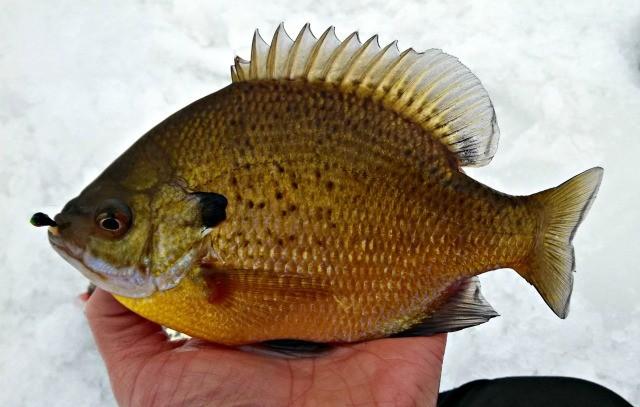 catching sunfish