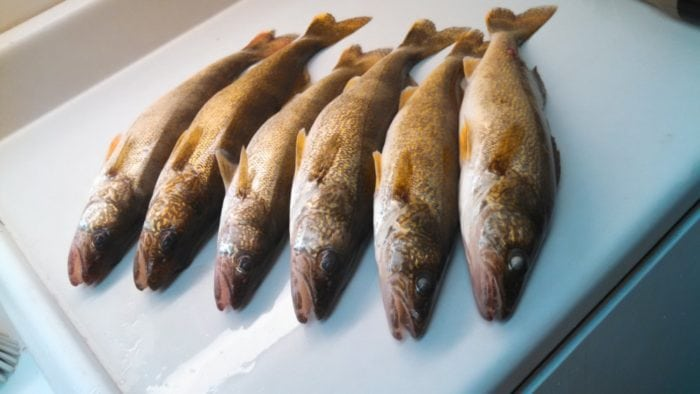 nice-limit-of-shallow-water-walleye