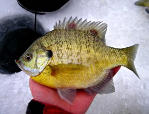 Nice sunfish from ice fishing