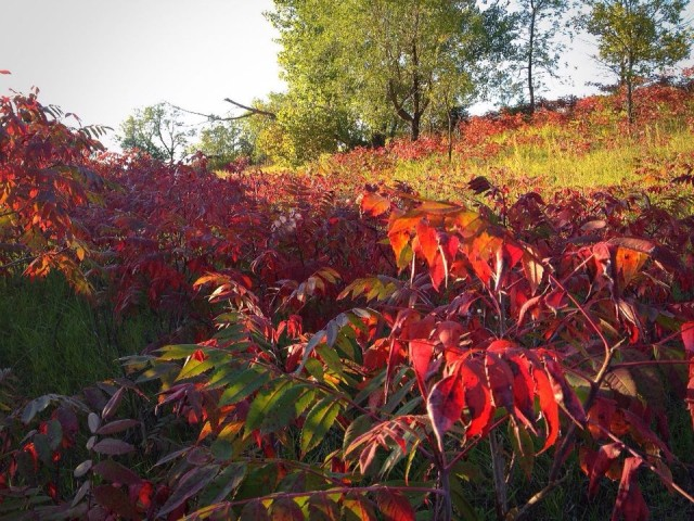 One noticeable change along the trails... most of the sumac has turned completely red!