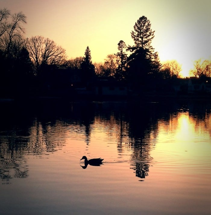 Sunset Duck