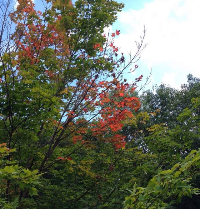 Maple tree starting to show off it's colors
