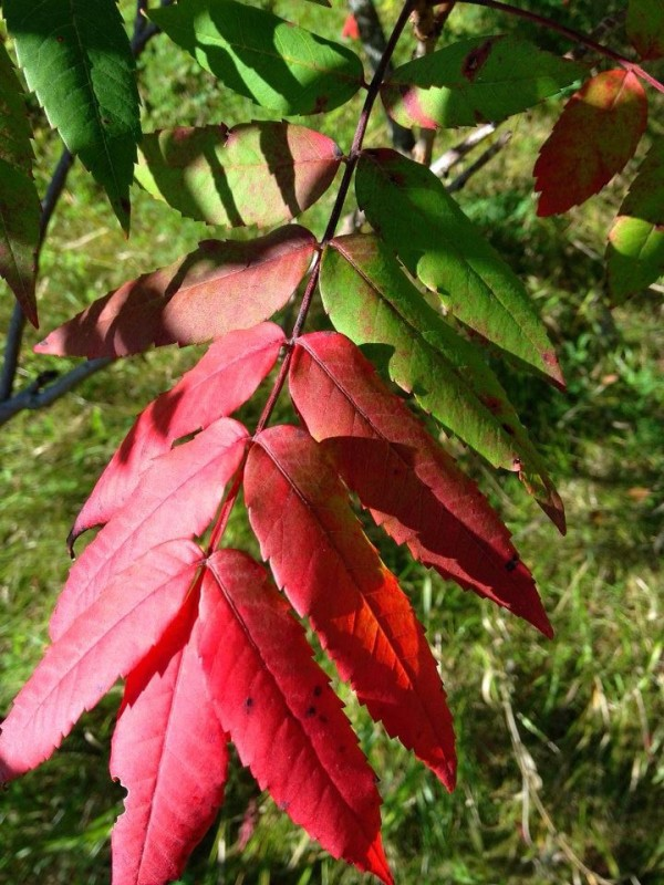 Sumac turning red along the trail is typically one of the first signs of fall