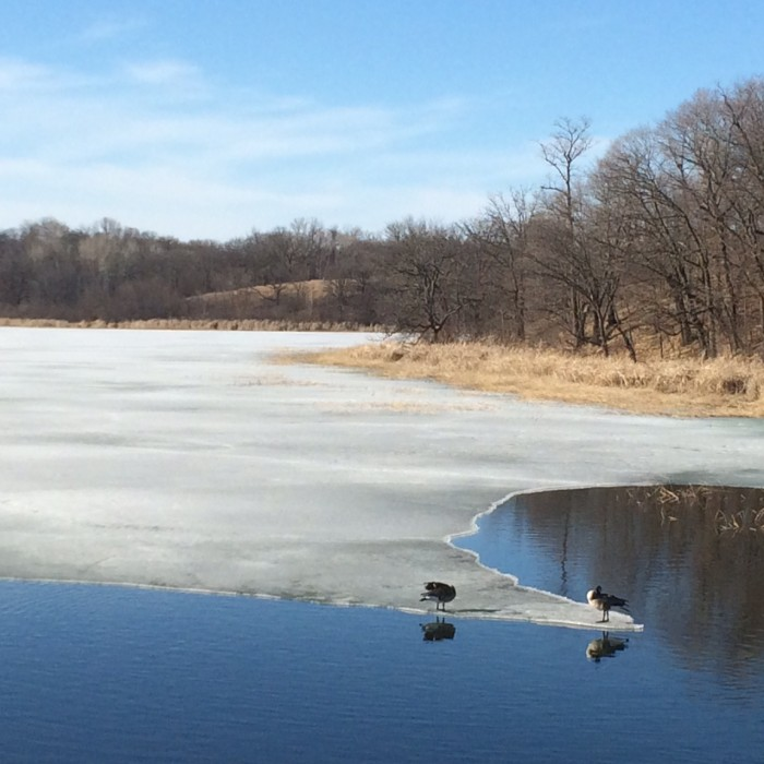 The geese are coming back, and they are finding the open water on the lakes.