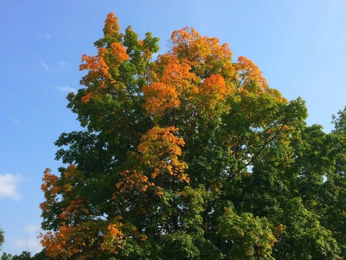 fall update maple 2015