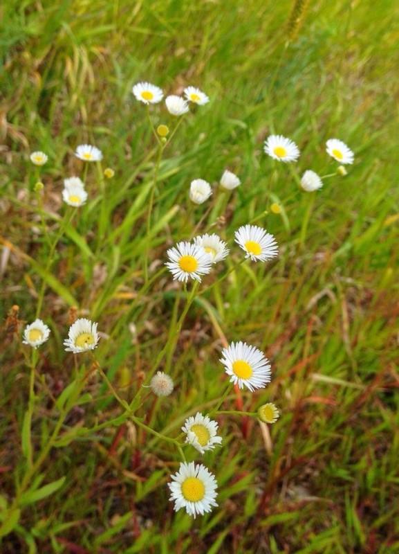 trailflowers