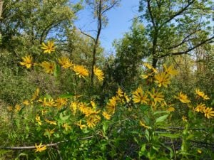 Lake Carlos State Park wildflowers 2018 - Photo by James Feist