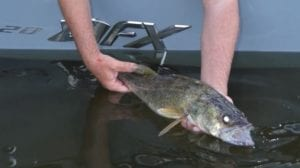 walleye catch july 11